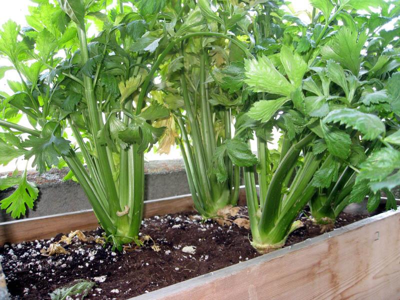 Выращивание зелени зимой и круглый год на подоконнике: как и что можно вырастить, посадка и уход