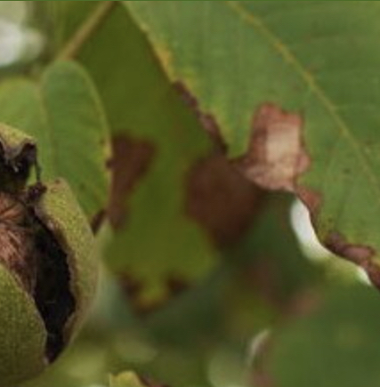 Болезни и вредители подсолнечника: фото, описание, меры борьбы с заболеваниями подсолнуха и защита от насекомых