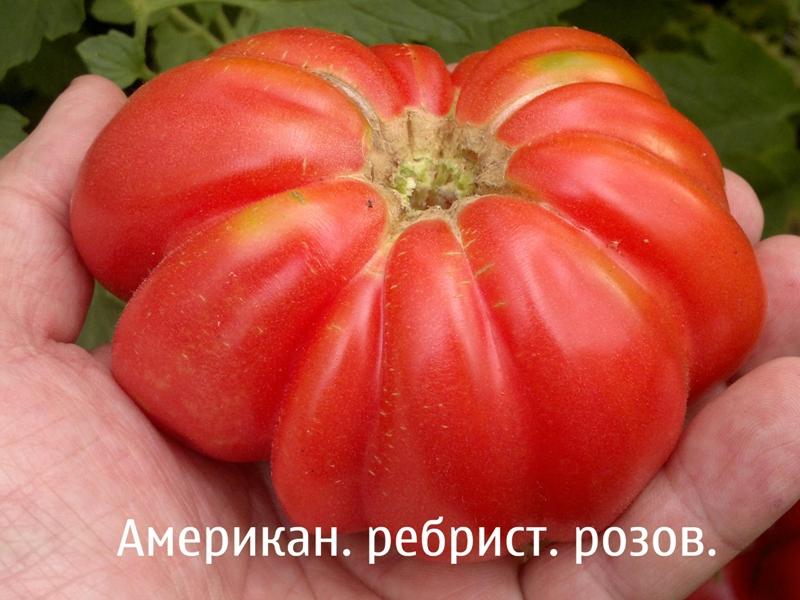 Ребристые томаты: описание, фото, отзывы