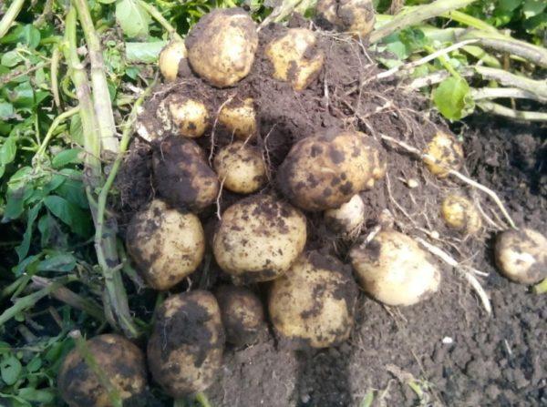 Картофель чародей описание сорта, характеристика, фото русский фермер