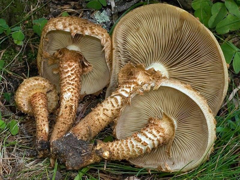 Опенок серопластинчатый (hypholoma capnoides), ложноопенок серопластинчатый или опенок маковый: фото, описание и как готовить этот гриб