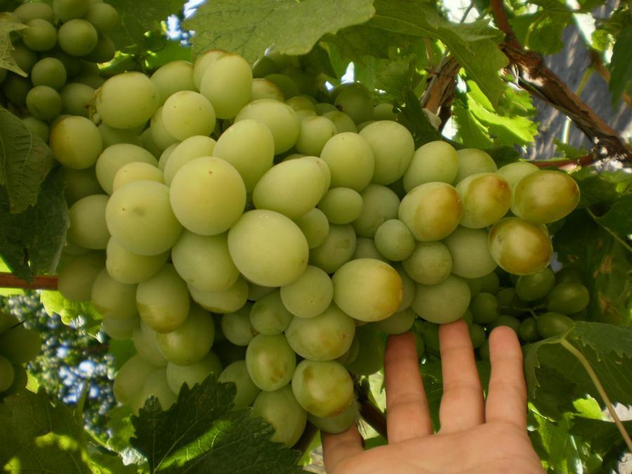 Описание сортов винограда кеша: 1 и 2
