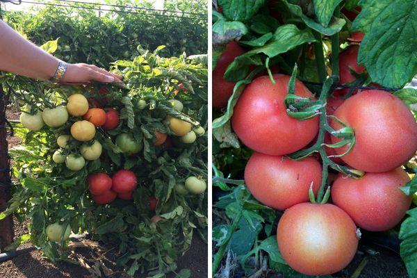 Томат катя f1: описание и характеристика сорта, отзывы, фото, выращивание и уход, посадка на рассаду, урожайность