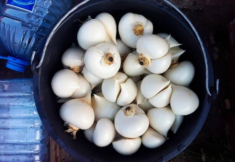 Лук суворова или азнур: полезные свойства и противопоказания, польза и вред, выращивание