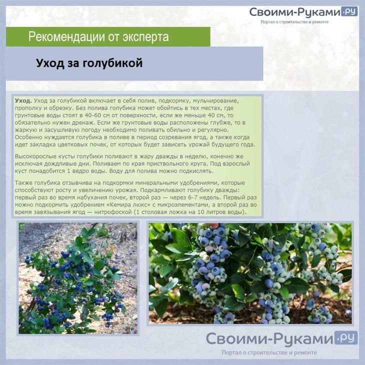 Голубика: посадка и уход в подмосковье, особенности выращивания - sadovnikam.ru