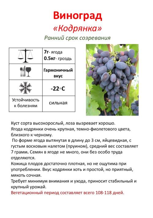 Виноград эффектной расцветки красотка, внешние признаки и правила культивирования