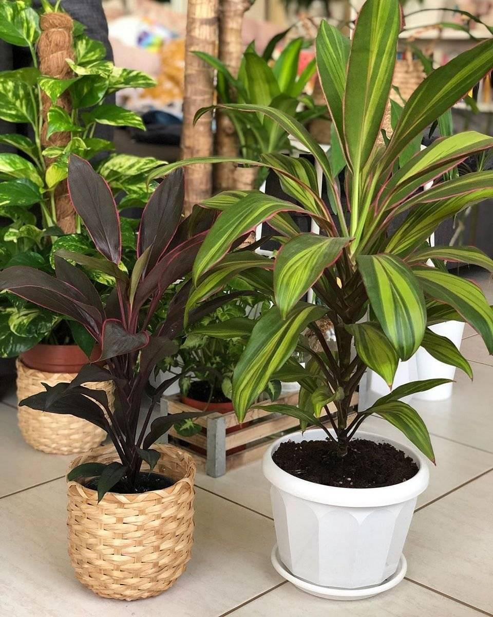 Кордилина: уход за тропиканкой в домашних условиях