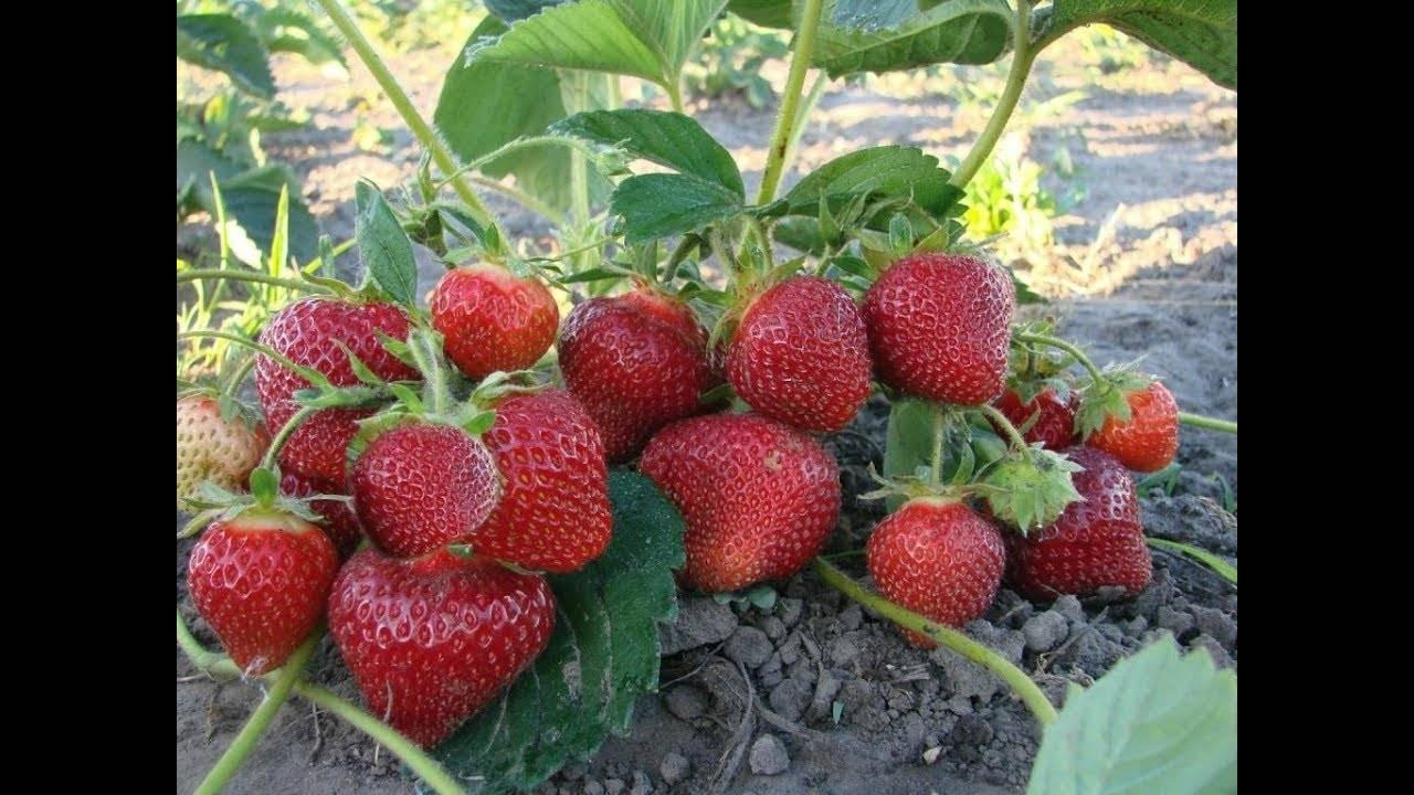 Клубника пандора: характеристика и описание сорта, агротехника и правила ухода