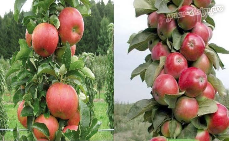 Колоновидная яблоня – описание, плюсы и минусы, популярные сорта, как получить такое растение?
