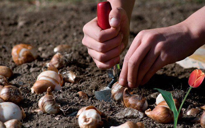 Посадка тюльпанов осенью в подмосковье: время, сроки, правила