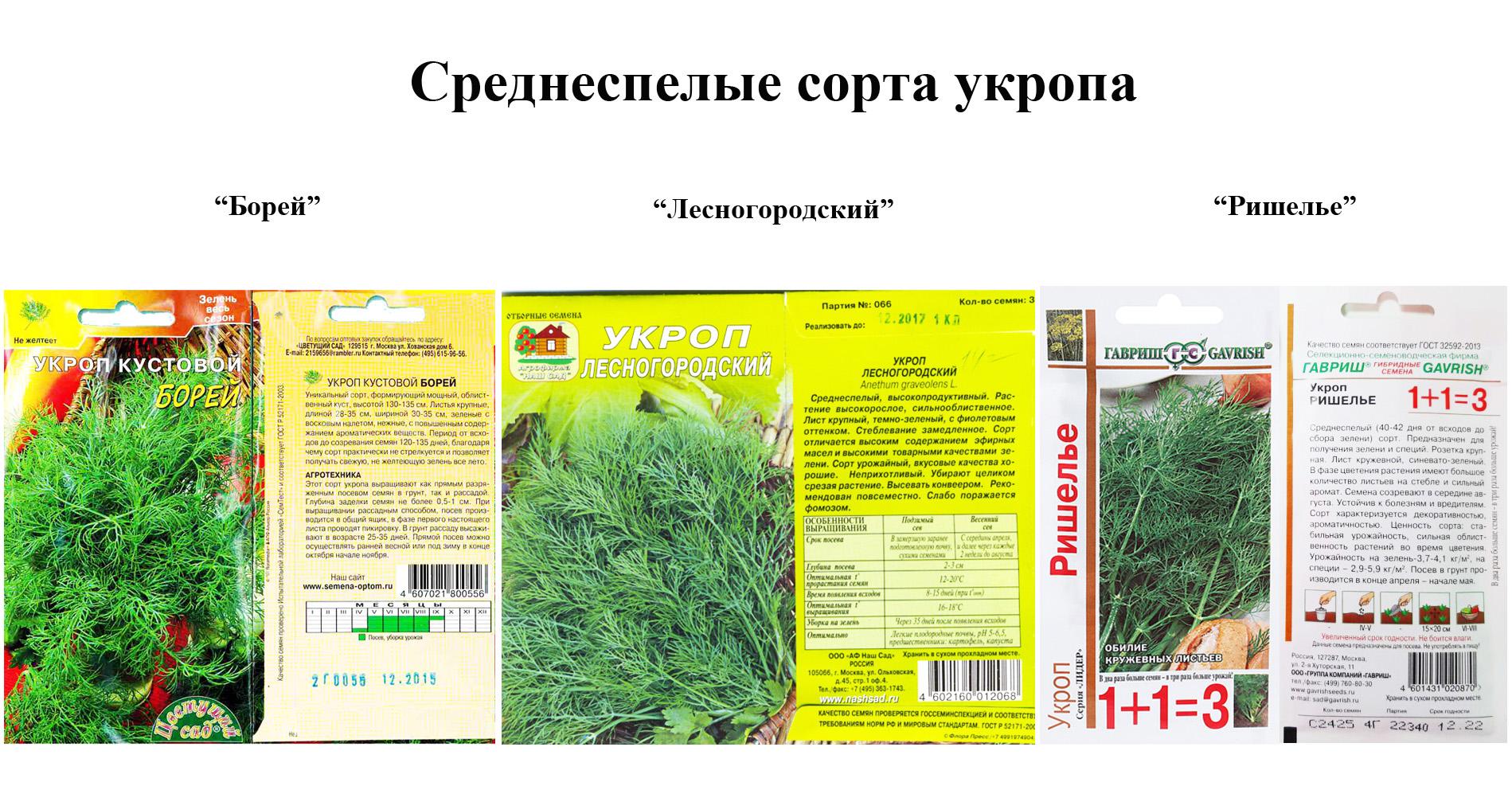 Укроп грибовский описание