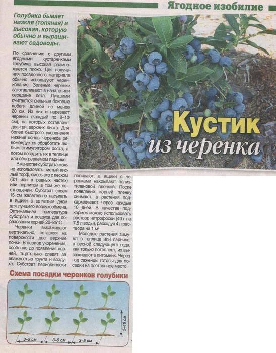 Как размножить голубику садовую: черенкованием, отводками, делением куста