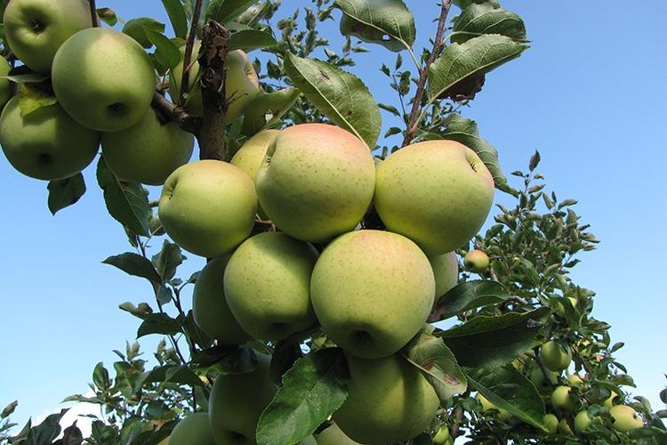 Описание и характеристики яблони сорта Голден, правила посадки и ухода