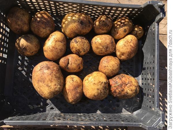 Характеристика картофеля сорта чародей - журнал садовода ryazanameli.ru
