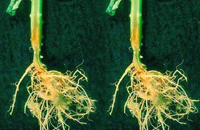 Как вылечить корневую гниль огурцов: что это за заболевание, признаки появления, обзор лучших фунгицидов и народные методы борьбы, меры профилактики