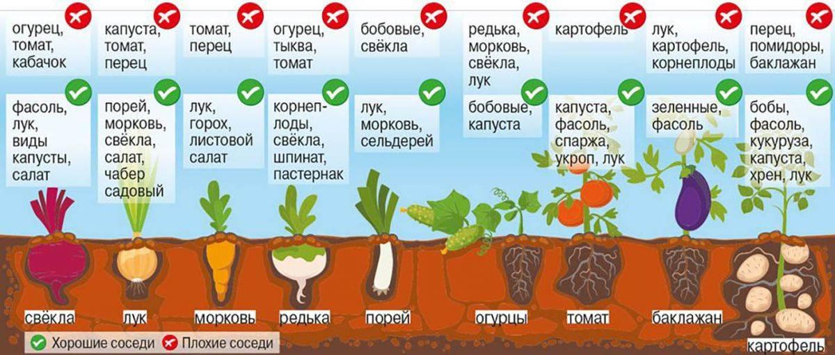 Когда и как правильно сажать фасоль семенами в открытый грунт: сроки, правила, схемы