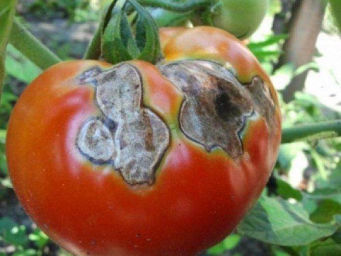 Что такое серая гниль на томатах и что с ней делать?
