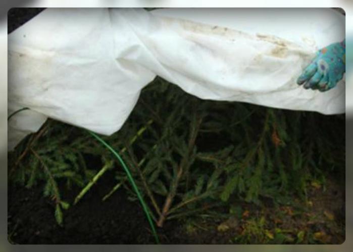 Уход за хостой осенью и подготовка к зиме: обрезка стеблей, особенности укрытия в подмосковье, сибири, на урале