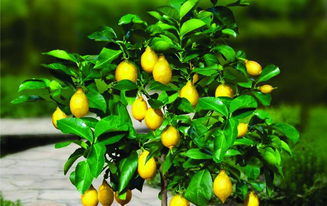 Олива европейская – плодоносящее дерево у вас дома