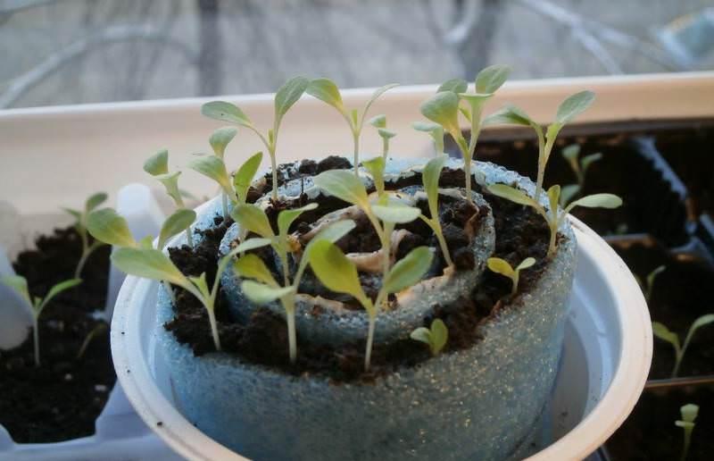 Как правильно посадить и выращивать томаты в улитке на рассаду - всё про сады