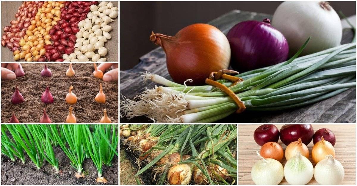 Характеристика сорта лука фермер и особенности выращивания его из семян