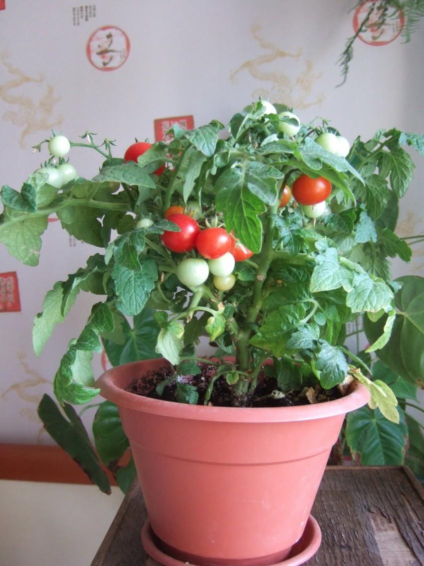 Рассада помидор на подоконнике - выращивание, уход