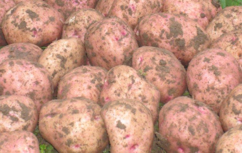 Среднеранний столовый сорт картофеля «лаура» с превосходным вкусом и ароматом
