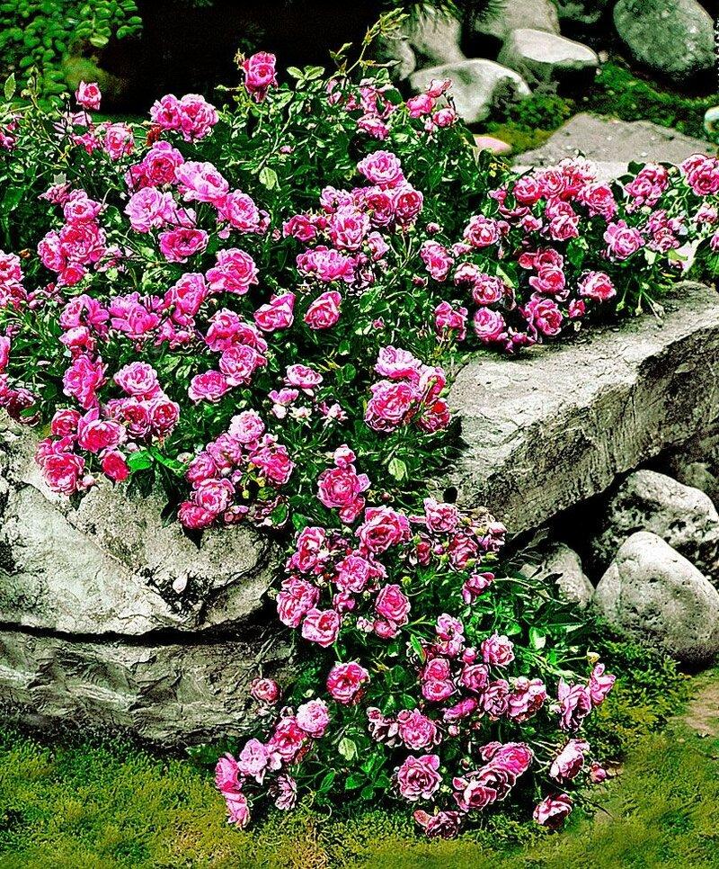 Лучшие сорта почвопокровных розы, правила их посадки и выращивания