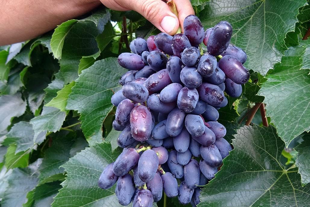 Сорт винограда памяти учителя: характеристики, описание