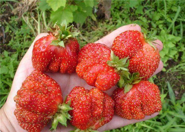 Рейтинг лучших сортов садовой земляники: по регионам и срокам созревания