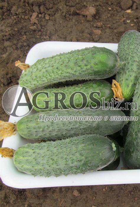 Фото, видео, описание, посадка, характеристика, урожайность, отзывы о гибриде огурцов «беттина f1».