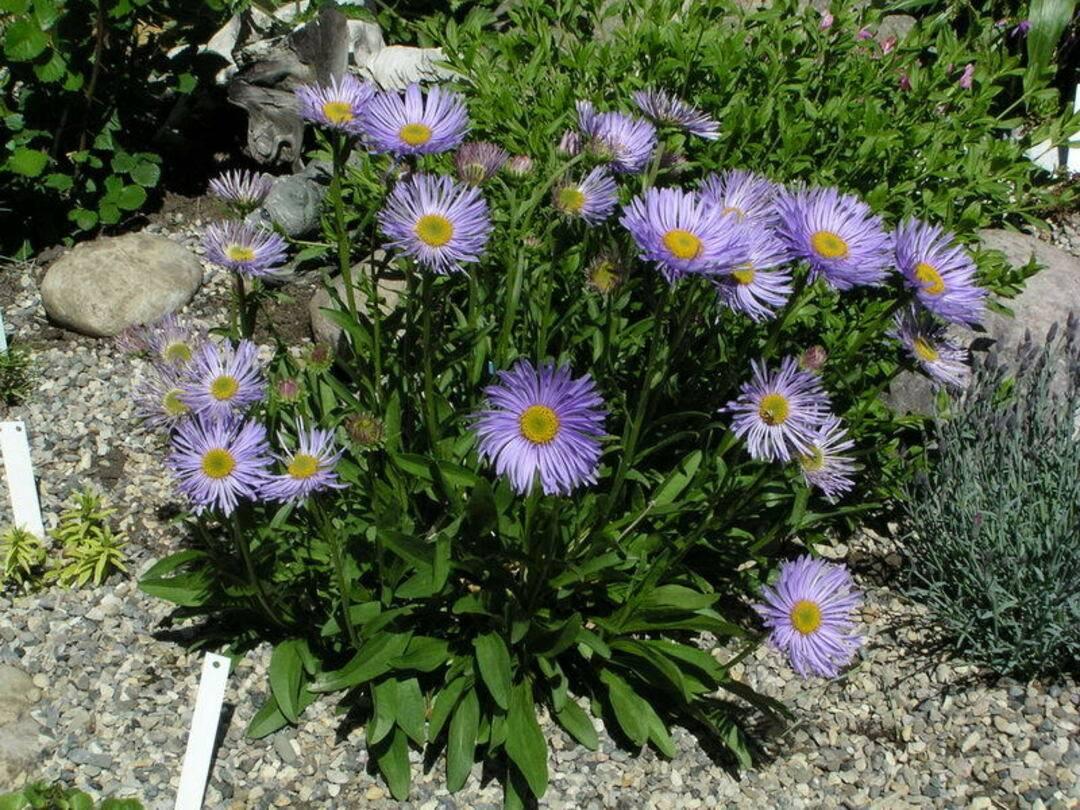 Астра альпийская: посадка и уход в открытом грунте, выращивание и размножение сорта, фото, сочетание в ландшафтном дизайне