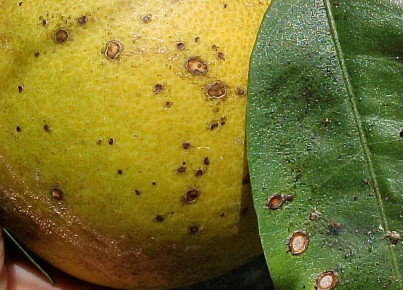 Щитовка на лимоне: как избавиться, средства и способы борьбы, чем обработать