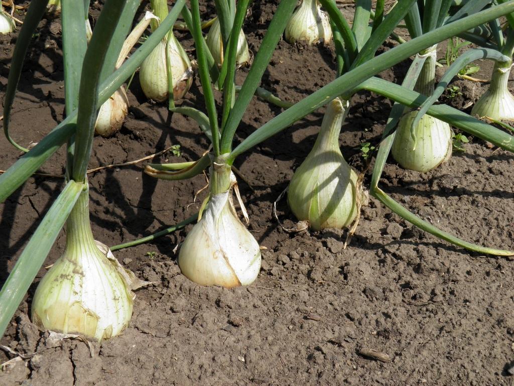 Лук чернушка - выращивание из семян, как вырастить севок и семена, сорта