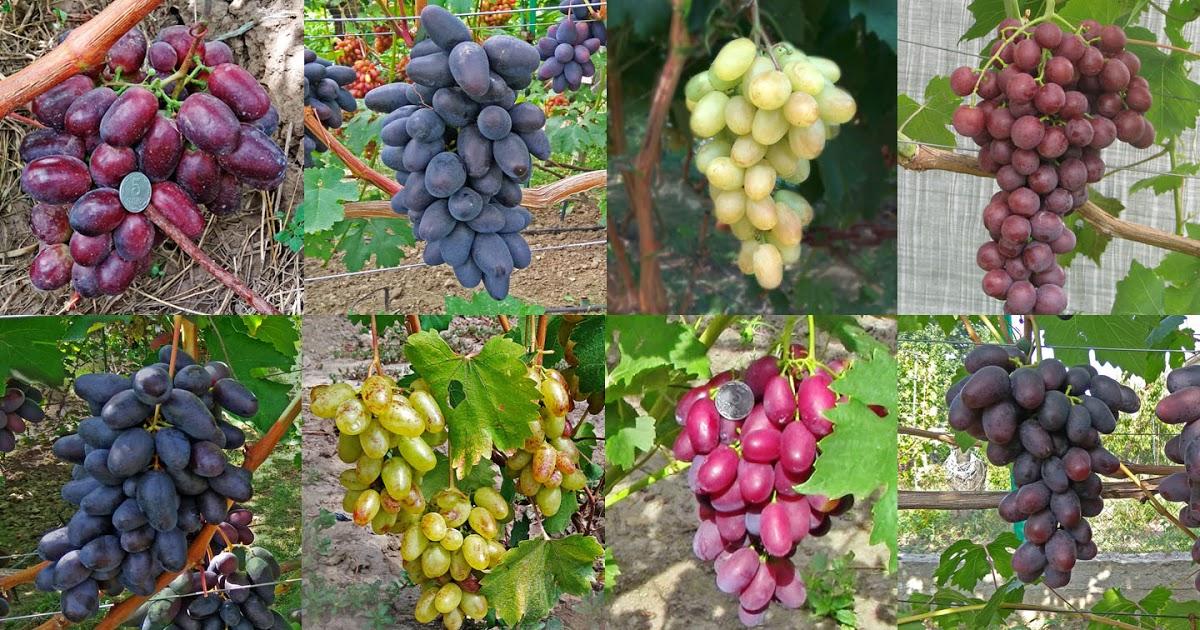 Виноград шоколадный: описание сорта, его особенности и характеристики, фото selo.guru — интернет портал о сельском хозяйстве