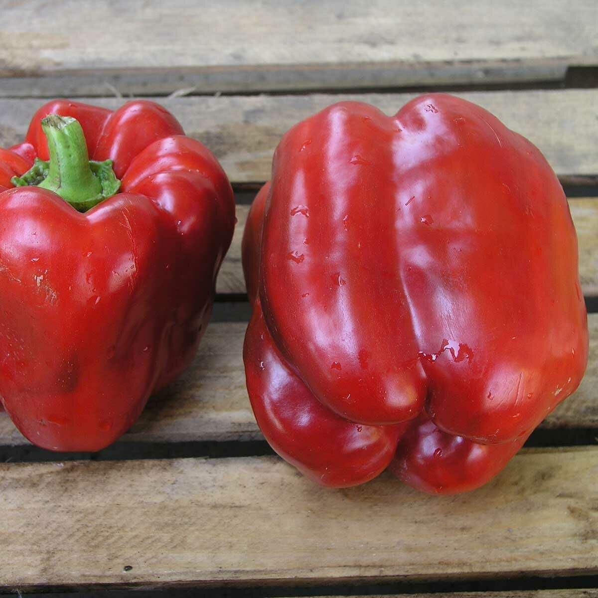 Перец клаудио − характеристика и описание сорта, фото, урожайность, достоинства и недостатки, отзывы
