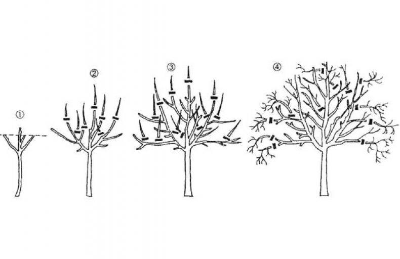 Обрезка грецкого ореха весной и осенью – обязательна?