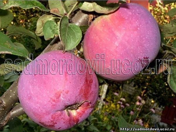 Яблоня «спартан»: описание сорта с фото, отзывы.