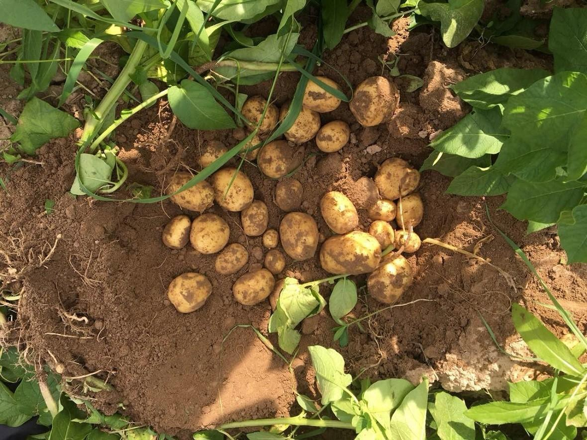 Картофель коломбо: 8 особенностей и 10 советов по выращиванию и хранению