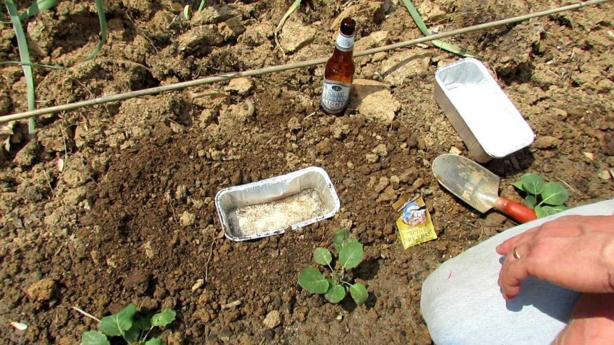 Как избавиться от медведки в огороде навсегда: народные средства борьбы и химические препараты