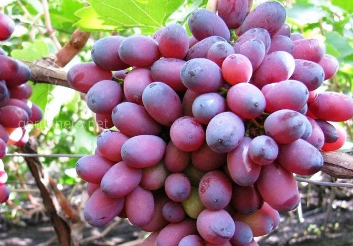 Виноград кардинал: описание сорта и особенности выращивания, характеристики кустов и ягод