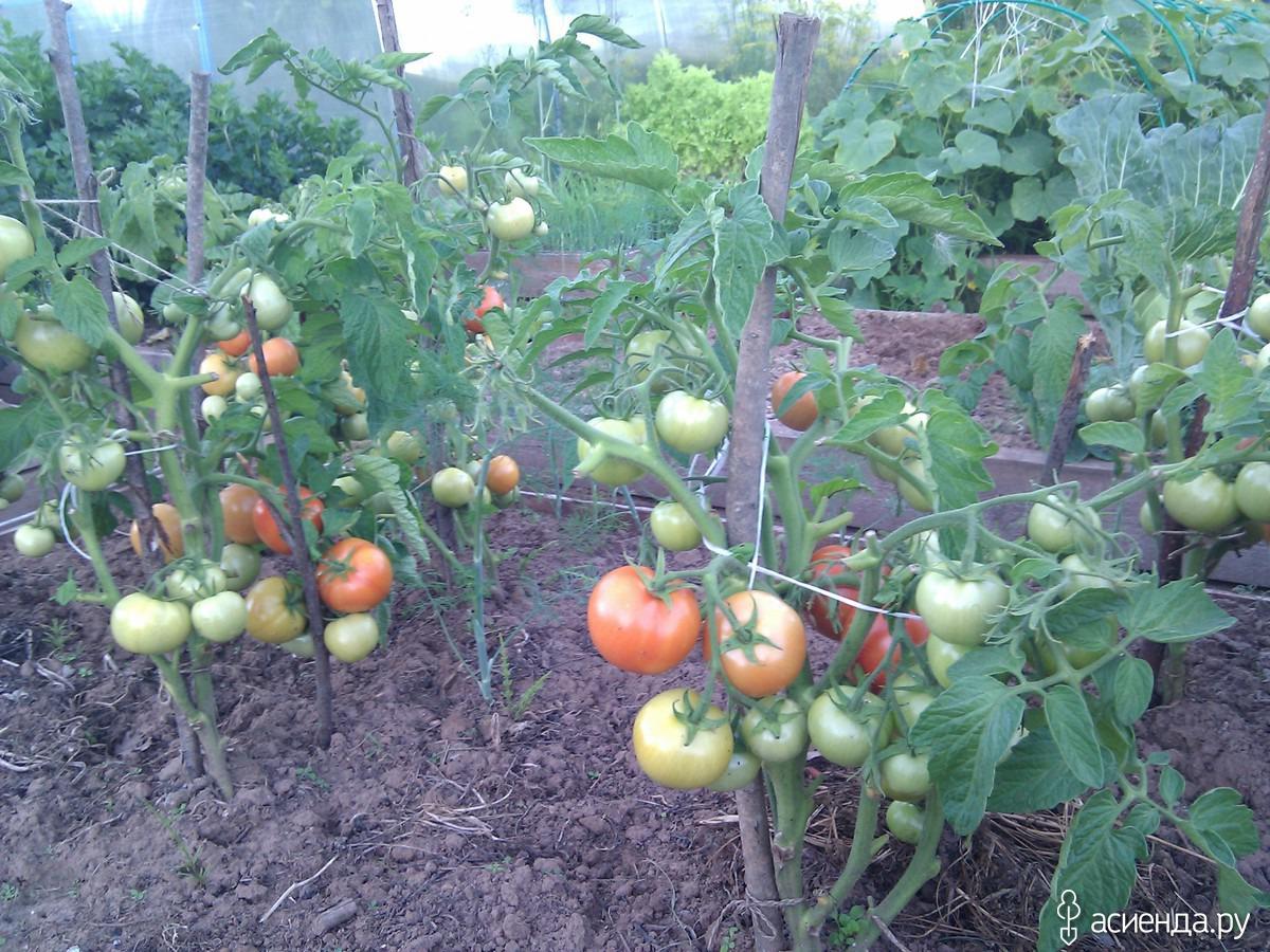 Помидоры для ленивых: ленивый способ выращивания помидор опробованный годами с видео
