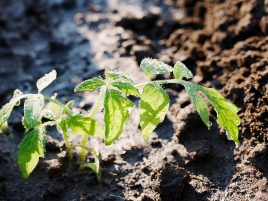 Подкормка золой рассады помидоров и перца
