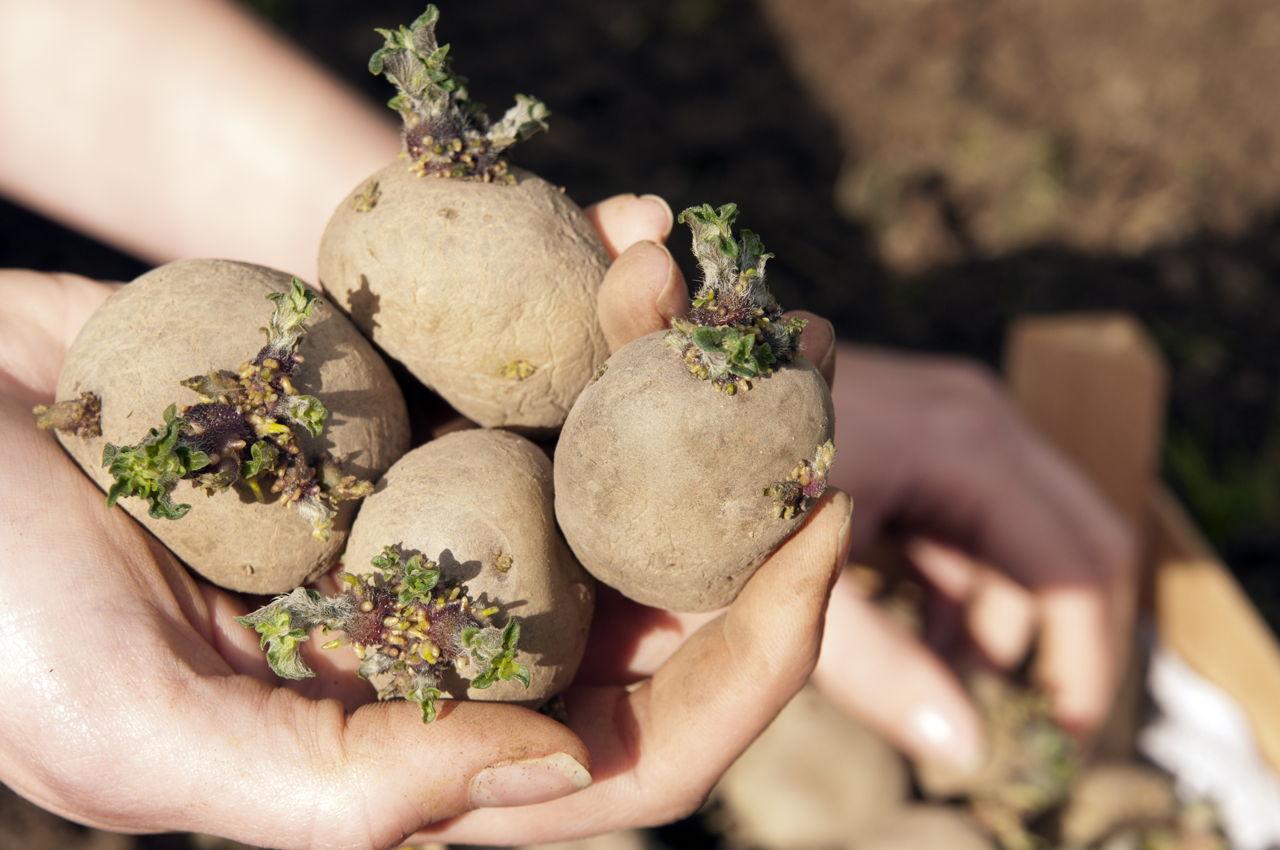 Проращивание картофеля перед посадкой: сроки   спутниковые технологии