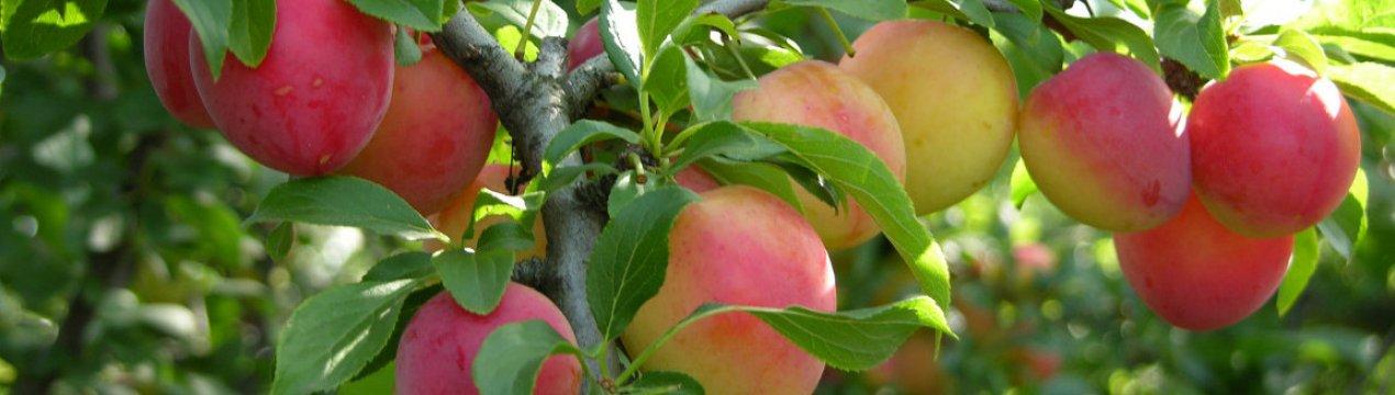 Слива светлячок: описание и характеристики сорта, правила выращивания и размножения