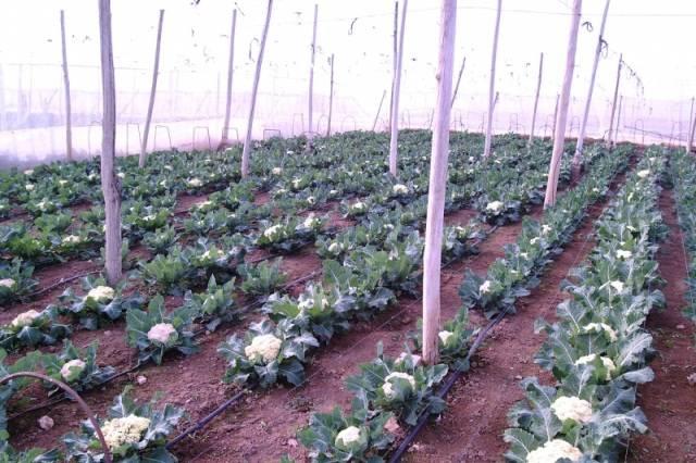 Выращивание и уход за пекинской капустой в открытом грунте и теплице