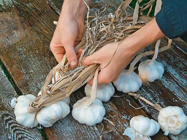 Как хранить чеснок: сбор урожая, подготовка к хранению, выбор места и тары