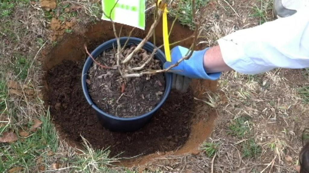 Голубика: выращивание и правильный уход. какие сложности могут возникнуть при выращивании голубики на садовом участке? - секреты садоводов