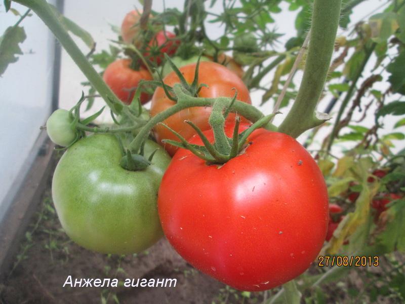 Томат австралиец: описание и характеристика сорта, отзывы, фото, урожайность   tomatland.ru