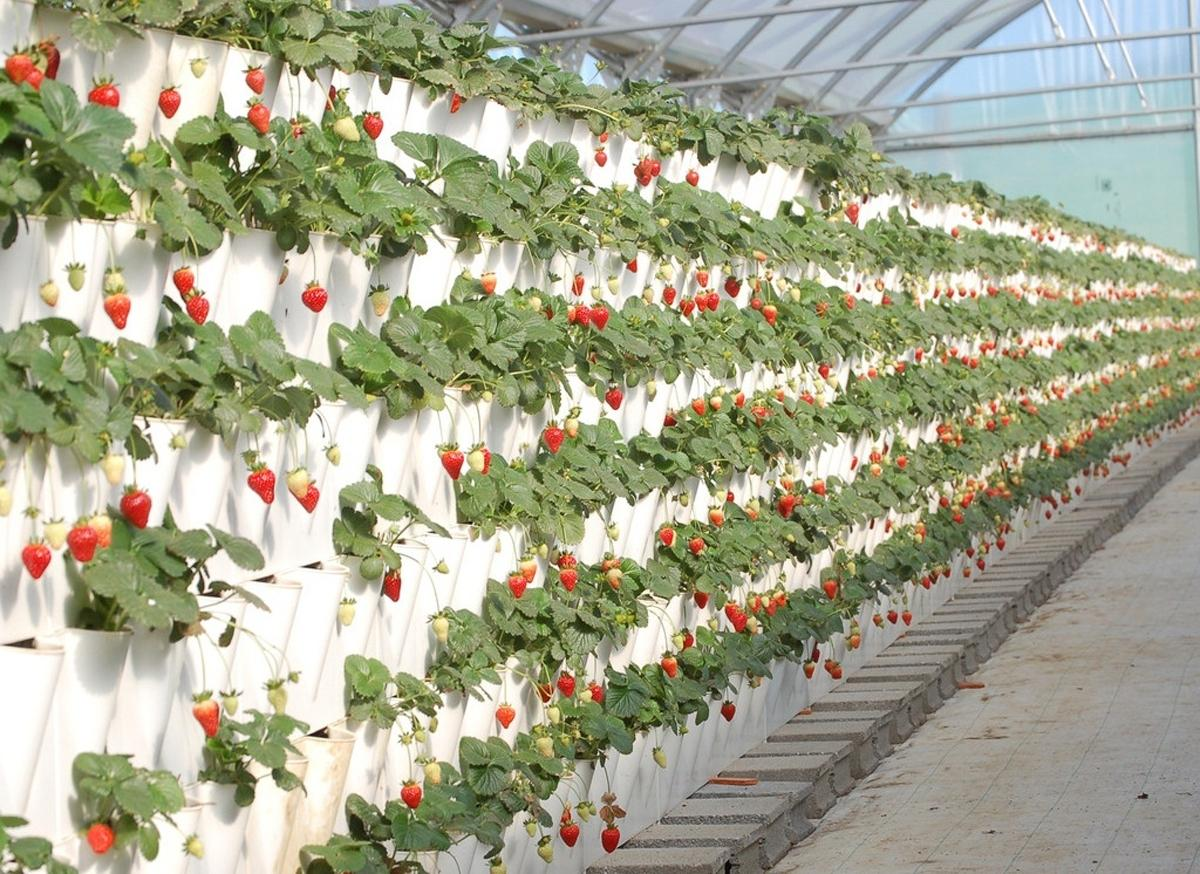 Лучшие сорта клубники на 2020 год: самые урожайные и вкусные